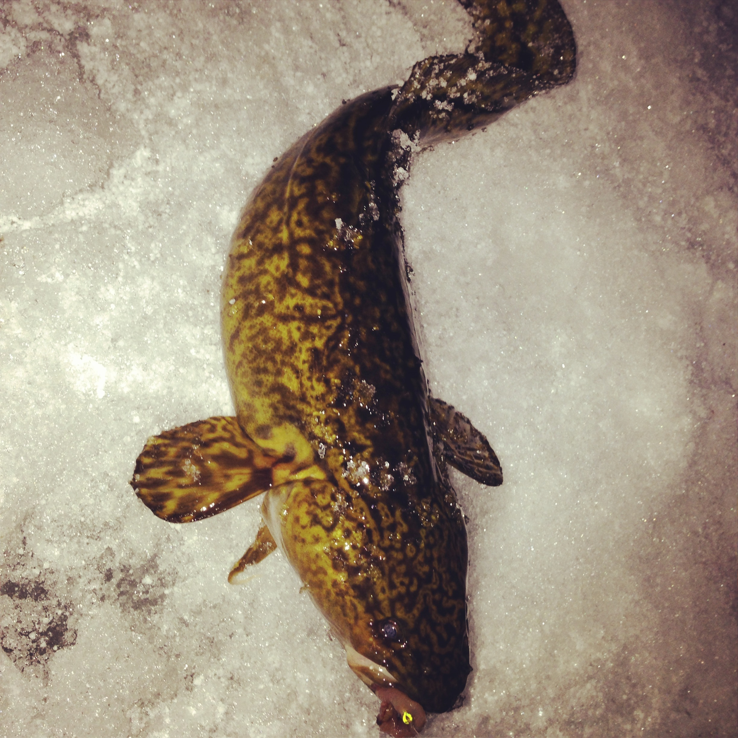 Ice fishing for burbot in bc bcfishn for How to ice fish